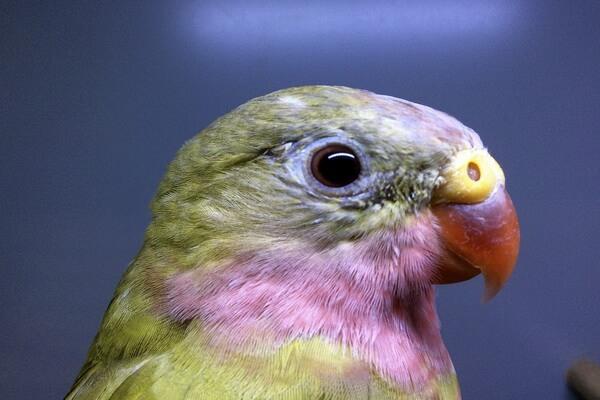 Австралийские попугаи с фото и описанием - Роскошный попугай Александры