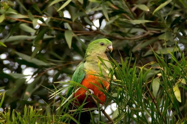 Попугаи Австралии с фото и описанием - Королевский попугай
