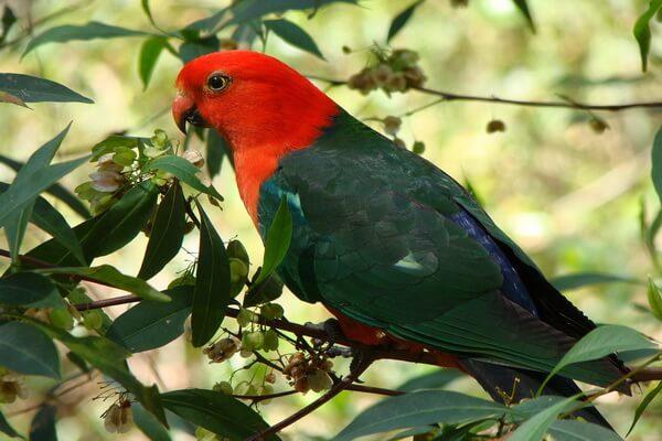 Австралийские попугаи с фото и описанием - Королевский попугай
