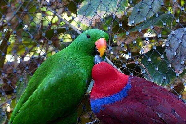 Попугаи Австралии с фото и описанием - Благородный зелёно-красный попугай