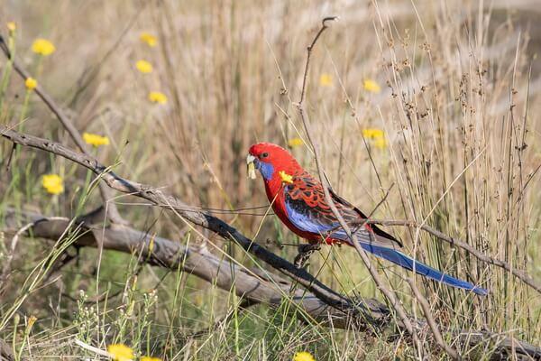 Попугаи Австралии с фото и описанием - Красная розелла