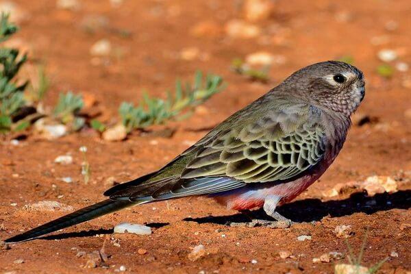 Австралийские попугаи с фото и описанием - Розовобрюхий травяной попугайчик