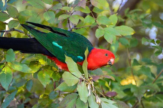 Австралийские попугаи - фото, названия, описание