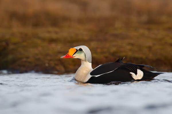 Птицы Арктики с фото и описанием - Гага-гребенушка