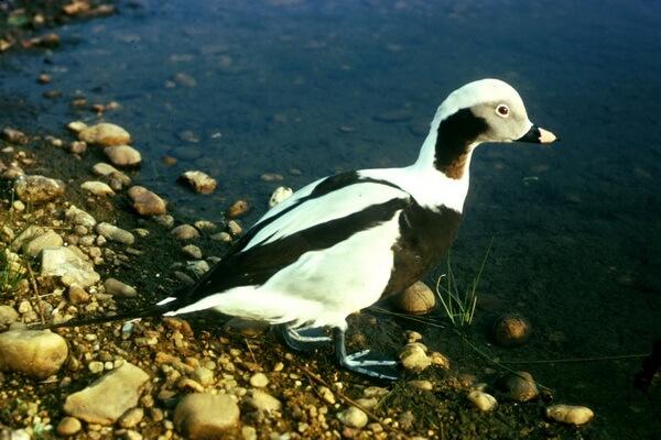 Птицы Арктики с фото и описанием - Морянка или саук (аллейка)