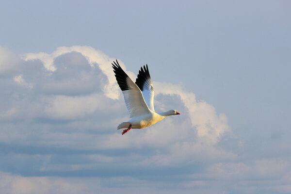 Птицы Арктики с фото и описанием - Белый гусь