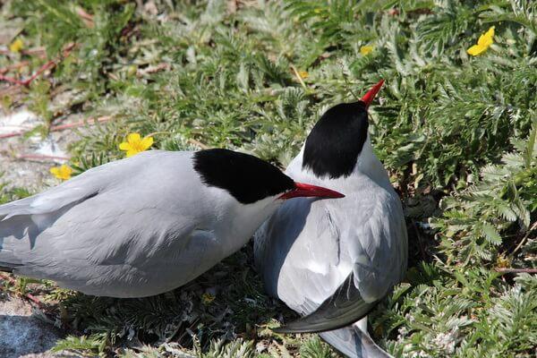 Птицы Арктики с фото и описанием - Полярные крачки
