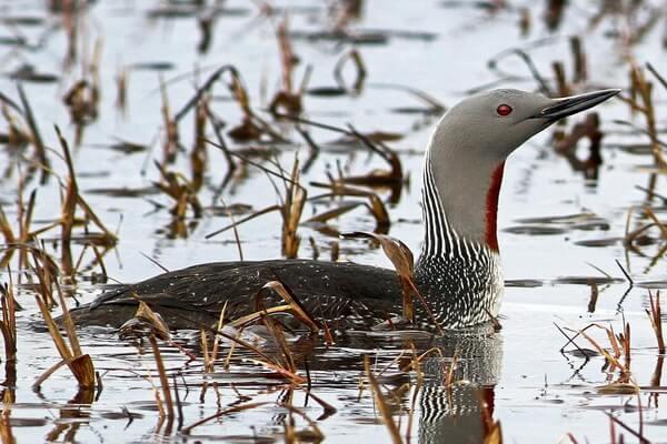 Птицы Арктики с фото и описанием - Краснозобая гагара