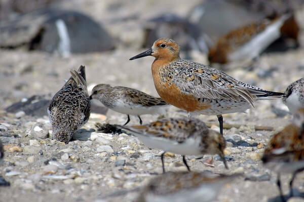 Птицы Арктики с фото и описанием - Исландский песочник