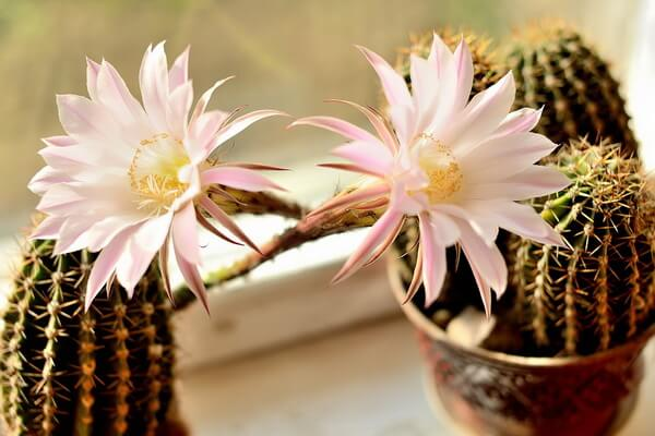 Растения-обереги с фото и описанием - Кактусы