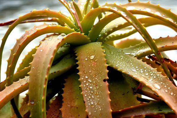Растения-обереги с фото и описанием - Алоэ вера