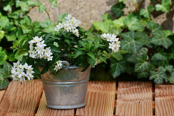 Растения-обереги с фото и описанием - Комнатный жасмин