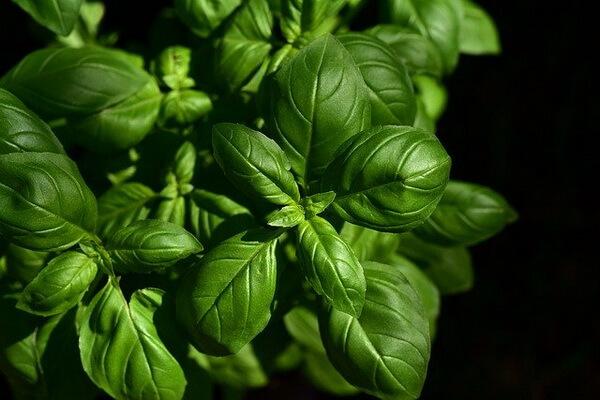 Растения-обереги с фото и описанием - Базилик