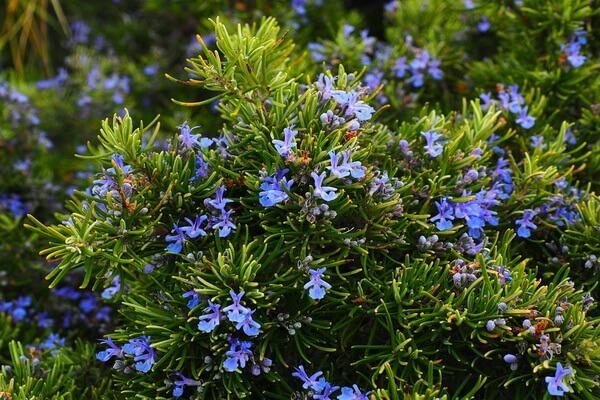 Растения-обереги с фото и описанием - Розмарин