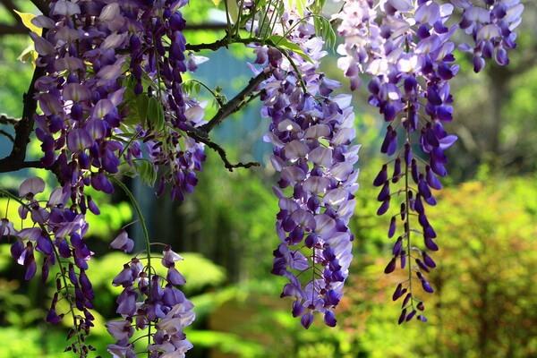 Самые ароматные цветы с фото и описанием - Глициния