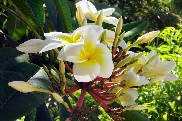 Самые ароматные цветы с фото и описанием - Плюмерия или франжипани
