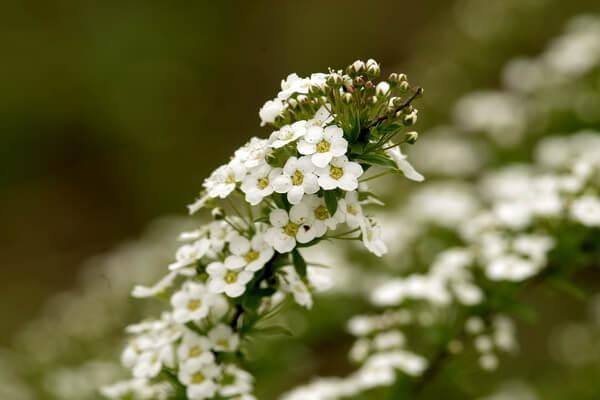Самые ароматные цветы с фото и описанием - Газонница приморская