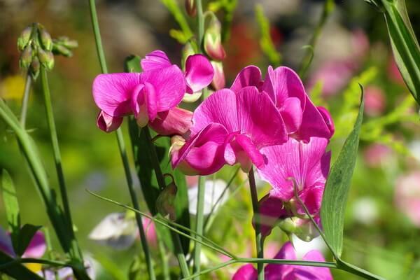 Самые ароматные цветы с фото и описанием - Чина душистая или душистый горошек