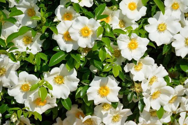 Самые ароматные цветы с фото и описанием - Гардения