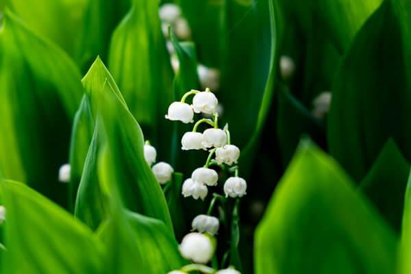Самые ароматные цветы с фото и описанием - Ландыш майский
