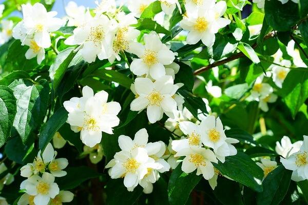 Самые ароматные цветы с фото и описанием - Жасмин