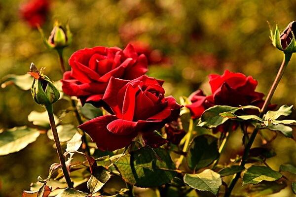 Самые ароматные цветы с фото и описанием - Розы