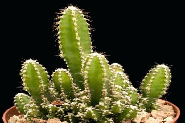 Фото дорогих кактусов - Акантоцереус тетрагонус