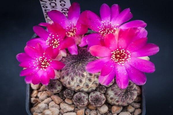 Самые дорогие кактусы в мире - Сулькоребуция Рауша виолацидермис