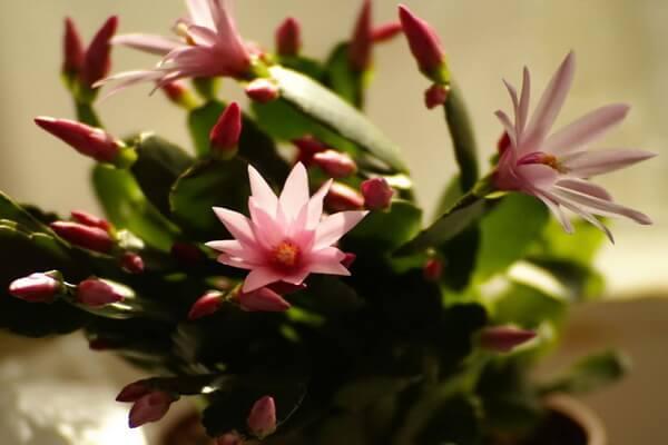 Самые дорогие кактусы с фото - Шлюмбергера