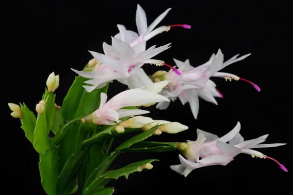 Самые дорогие кактусы в мире - Шлюмбергера