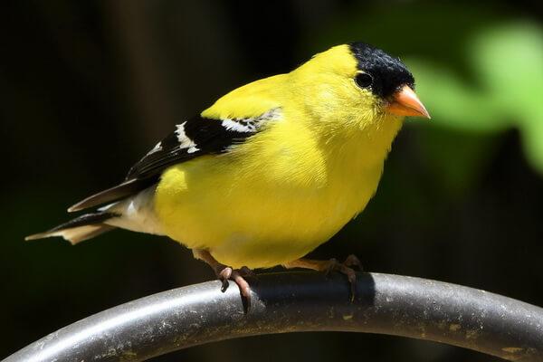 Самые дорогие птицы с фото, названием и описанием - Американский чиж
