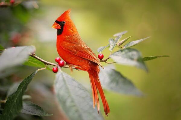 Самые дорогие птицы с фото, названием и описанием - Красный или виргинский кардинал