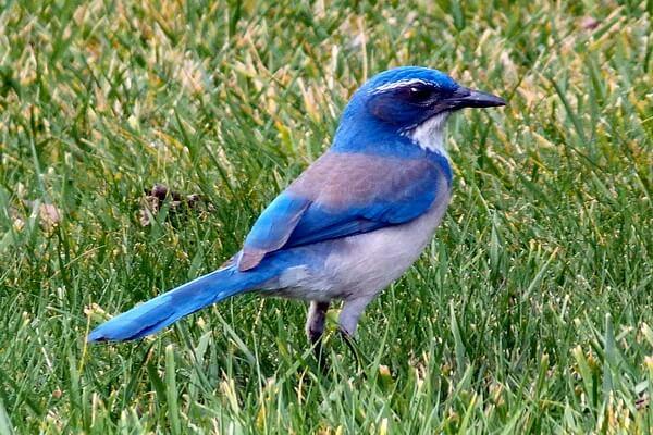 Самые дорогие птицы с фото, названием и описанием - Голубая сиалия