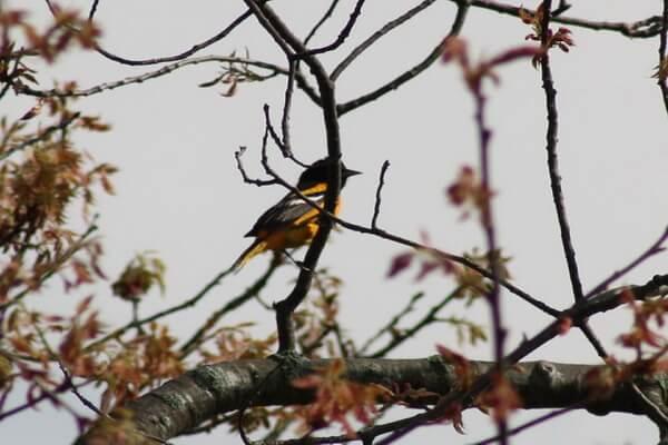 Самые дорогие птицы с фото, названием и описанием - Балтиморская иволга или балтиморский цветной трупиал