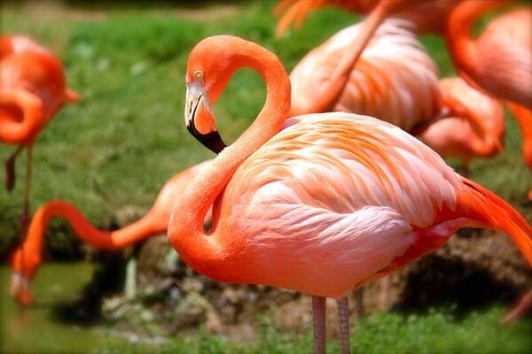 Самые дорогие птицы с фото, названием и описанием - Фламинго