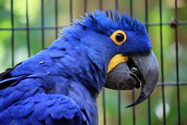 Самые дорогие птицы с фото, названием и описанием - Гиацинтовый ара