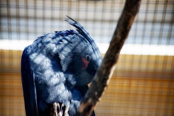Самые дорогие птицы с фото, названием и описанием - Чёрный какаду