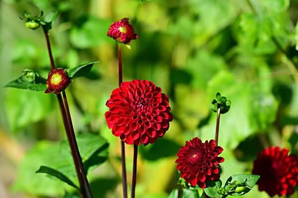 ТОП-10 самых красивых цветов в мире - Георгины