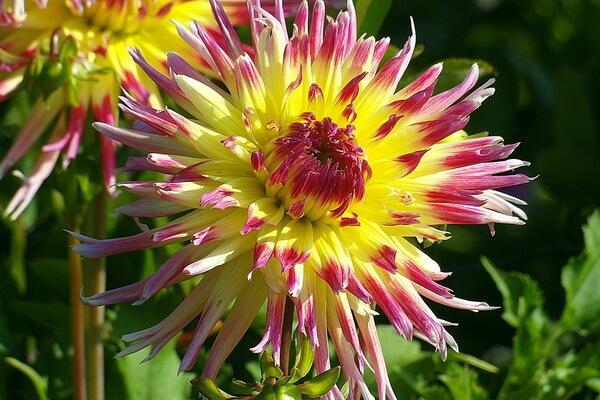 ТОП-10 самых красивых цветов в мире с фото - Георгины