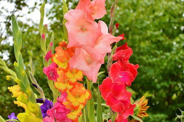 10 самых красивых цветов в мире с фото - Гладиолусы