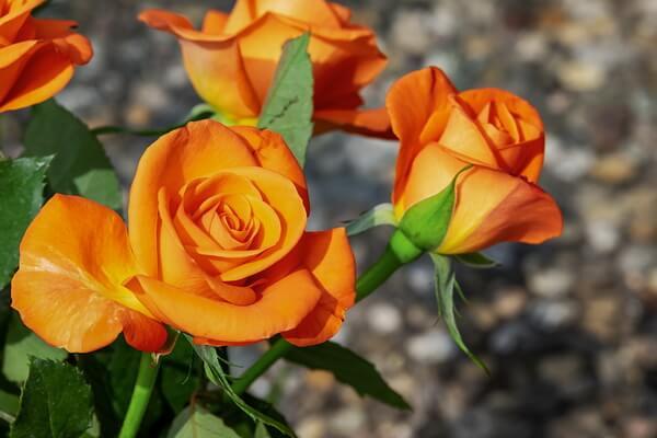 Самые красивые цветы в мире с фото и описанием - Розы