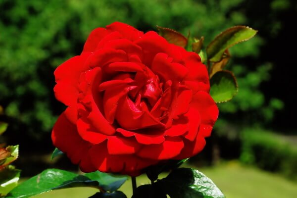 Самые красивые цветы в мире с фото и описанием - Красные розы