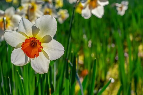 Самые красивые цветы с фото и описанием - Нарциссы