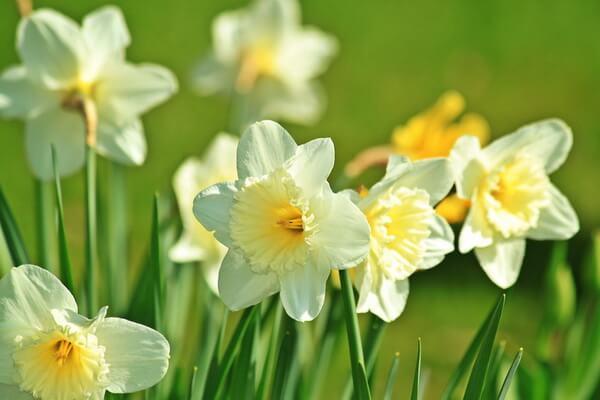 Самые красивые цветы с фото и описанием - Белые нарциссы
