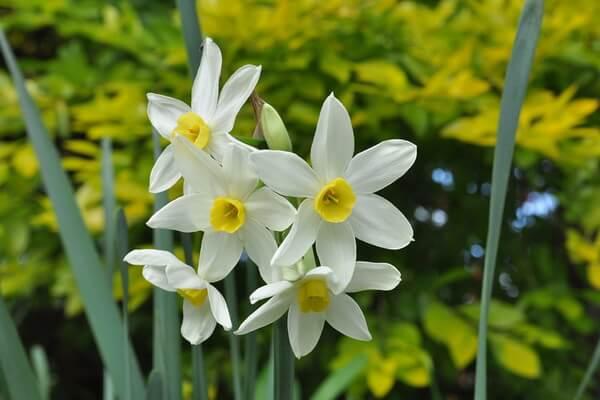 10 самых красивых цветов в мире с фото - Нарциссы