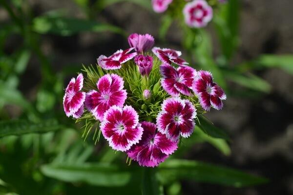 Самые красивые цветы в мире с фото и описанием - Турецкая гвоздика