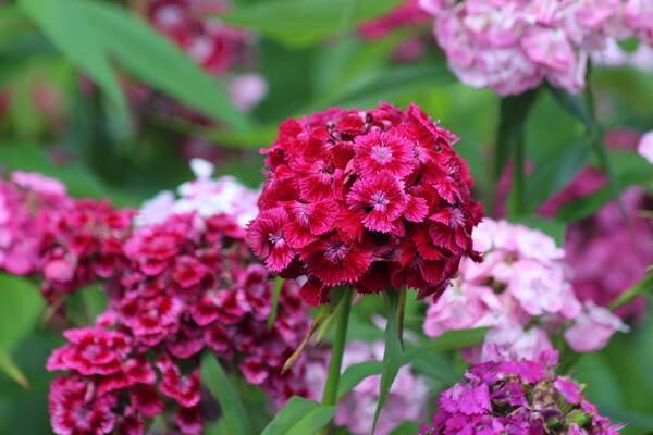10 самых красивых цветов в мире с фото - Турецкая гвоздика