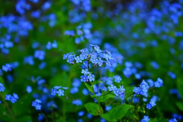 Самые красивые цветы в мире с фото и описанием - Незабудка