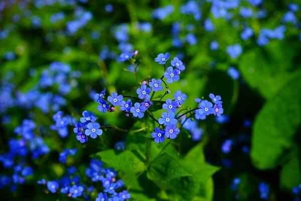 10 самых красивых цветов в мире с фото - Незабудки