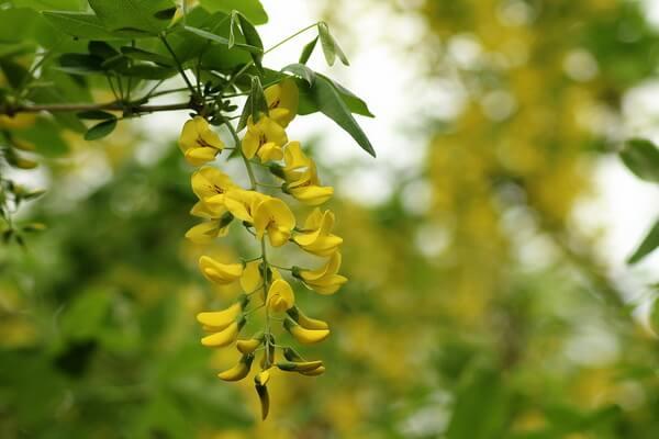 10 самых красивых цветов в мире с фото - Глициния